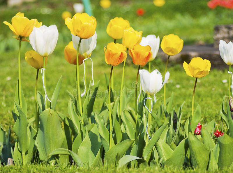 White and yellow tulips royalty free stock images
