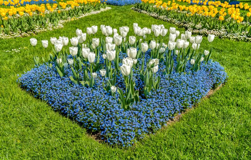 White and Yellow tulips with Alpine Forget-Me-Not Blue Flowers in spring time. royalty free stock photo