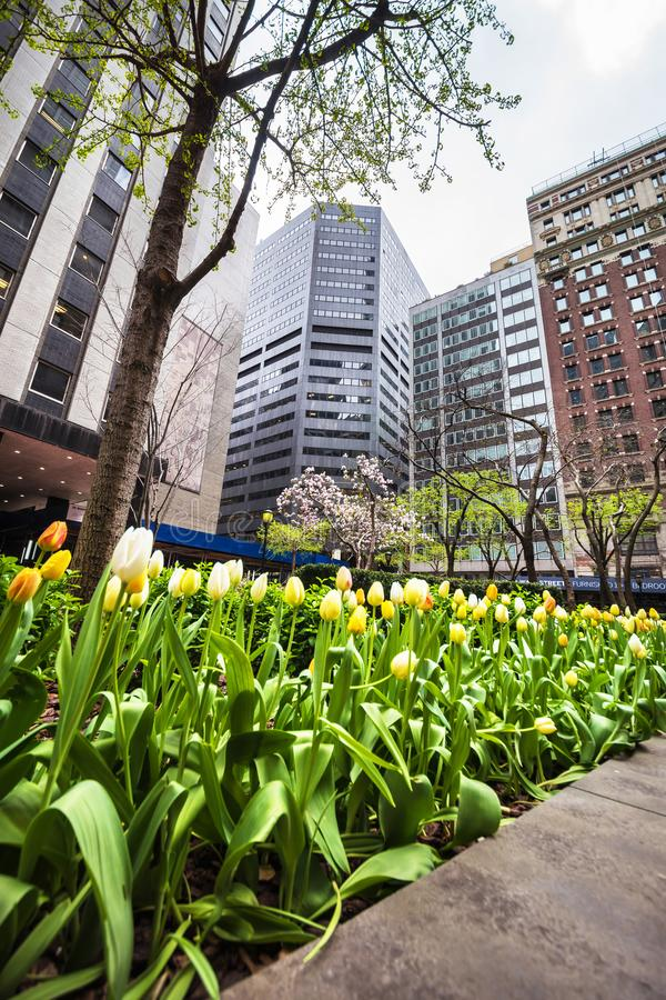 White and yellow tulips blooming in Midtown Manhattan NYC. New York, USA - April 24, 2015: White and yellow tulips blooming in Midtown Manhattan, New York, NYC royalty free stock photos