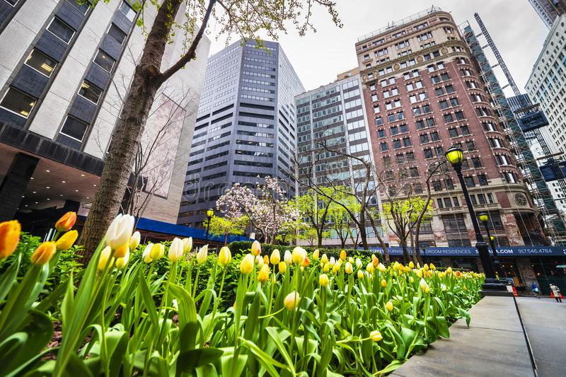White and yellow tulips in blossom in Midtown Manhattan NYC. New York, USA - April 24, 2015: White and yellow tulips in blossom in Midtown Manhattan, New York royalty free stock image