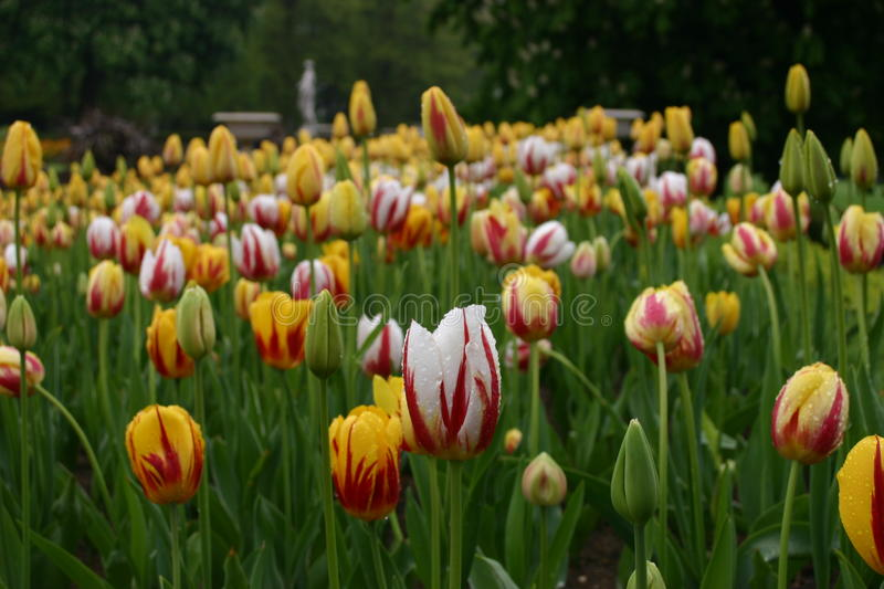 Multicoloured tulip flowers in rain. White and yellow tulips with red streaks and splashed with rain. Background shows leaves and other blooms royalty free stock images