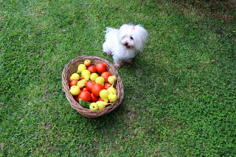 Cute maltese dog sitting next to a basket full of fresh fruits and vegetables in the garden stock photos
