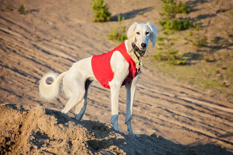 White young and alert saluki puppy dog outdoors in the lovely ho. T Summer weather in Finland. She`s having a red running vest on and collars on her neck royalty free stock image