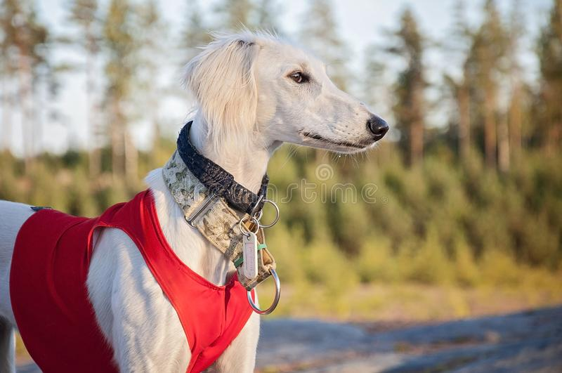 White young and alert saluki puppy dog outdoors in the lovely ho. T Summer weather in Finland. She`s having a red running vest on and collars on her neck stock photo