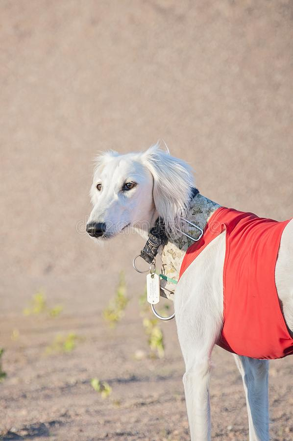 White young and alert saluki puppy dog outdoors in the lovely ho. T Summer weather in Finland. She`s having a red running vest on and collars on her neck royalty free stock photography