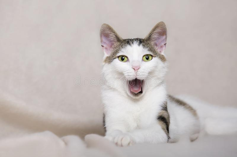 White young cat is yawning stock photo