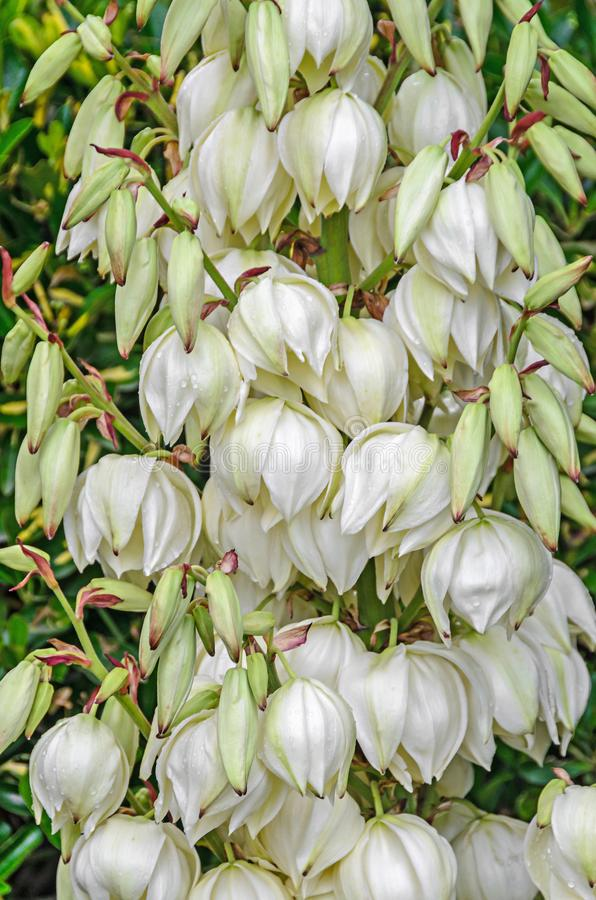 White Yucca filamentosa bush flowers, other names include Adams needle. Common yucca, Spanish bayonet, bear-grass, needle-palm, silk-grass, and spoon-leaf royalty free stock photo