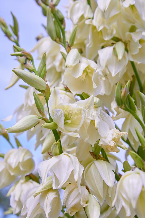 White Yucca filamentosa bush flowers, other names include Adams needle. Common yucca, Spanish bayonet, bear-grass, needle-palm, silk-grass, and spoon-leaf royalty free stock photography
