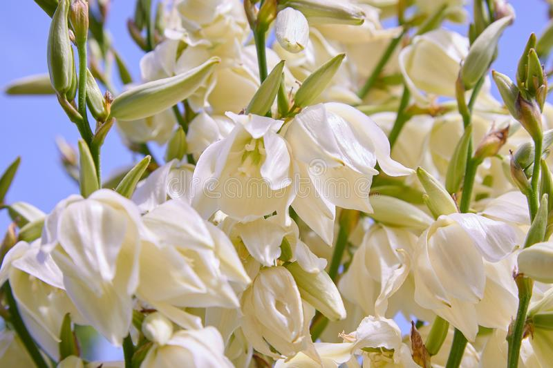White Yucca filamentosa bush flowers, other names include Adams needle royalty free stock photography