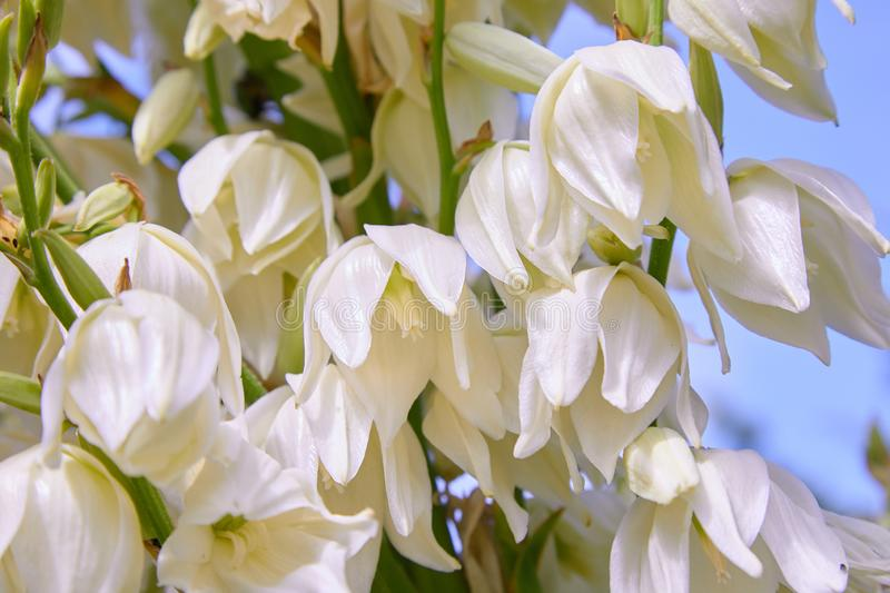 White Yucca filamentosa bush flowers, other names include Adams needle. Common yucca, Spanish bayonet, bear-grass, needle-palm, silk-grass, and spoon-leaf stock photo