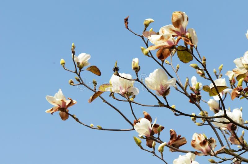 White yulan stock images