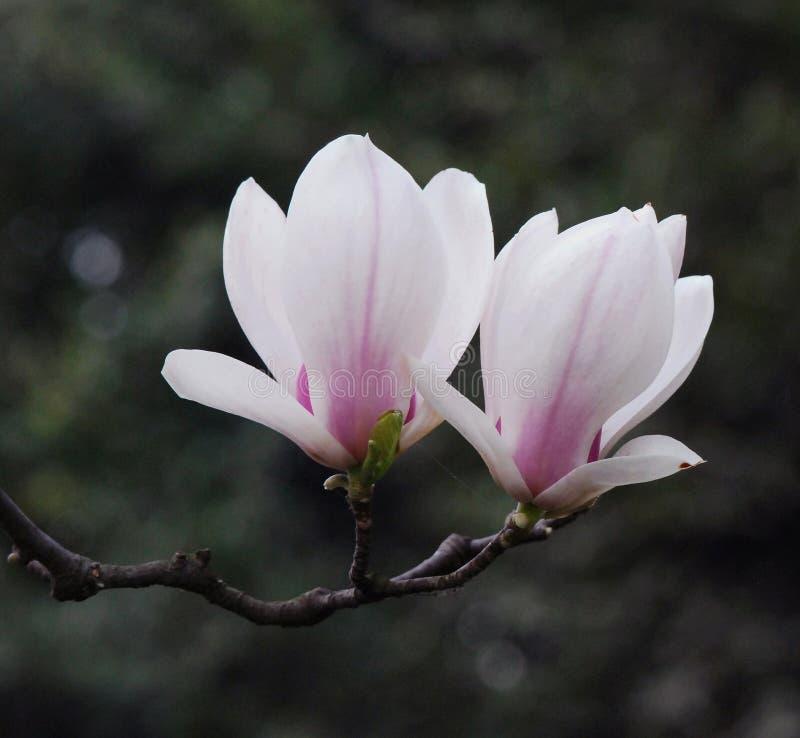 Free White Yulan Royalty Free Stock Photo - 8548475