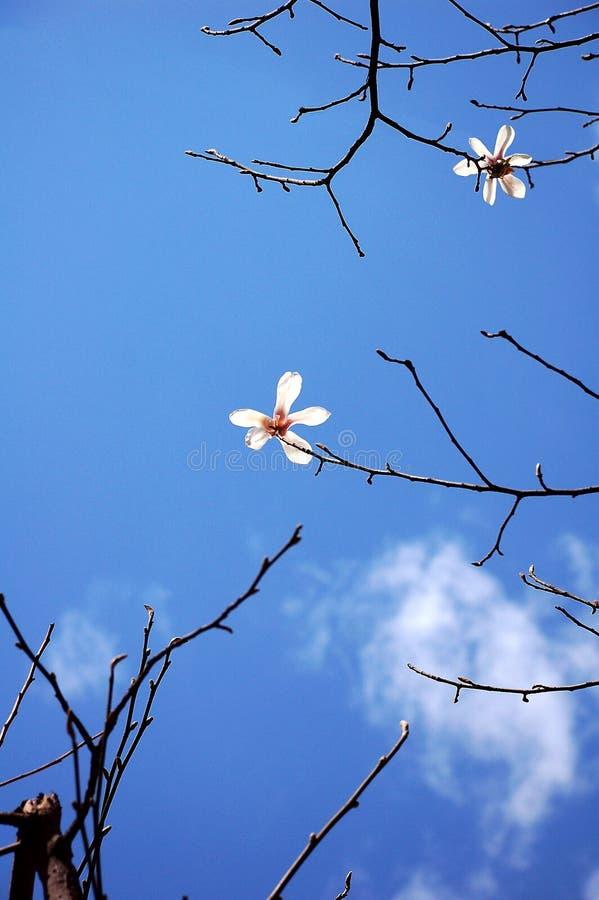 White Yulan Flowers In Spring Royalty Free Stock Photo