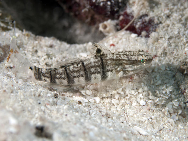 Whitebarred-Goby stockfoto