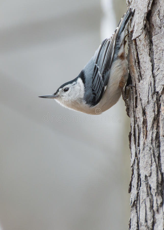 Download Whitebreasted Nuthatch Perched Stock Photo - Image: 83724018