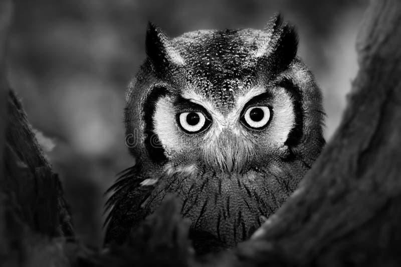 Whitefaced Owl Stock Photos