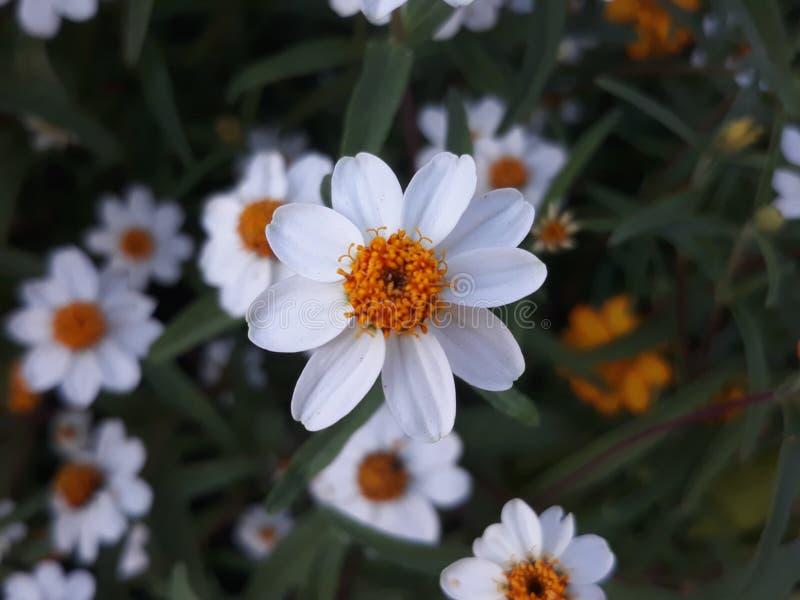 Silver flower button. Whiteflower buttonflower ornamentalplant potplant garden beautiful stock photo