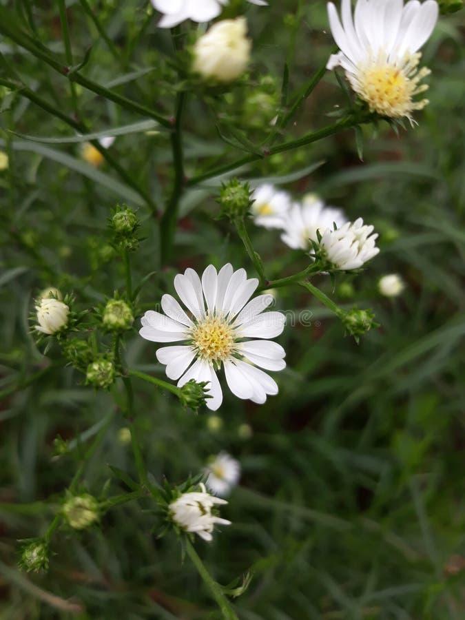 Daisy flower. Whiteflower garden plant tree potplant ornamental royalty free stock images