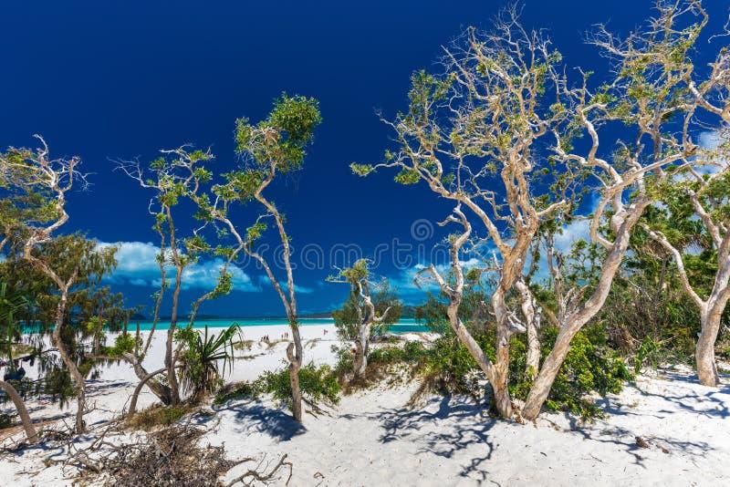 Whitehaven strand i pingstdagöarna med vita träd, Que royaltyfria foton