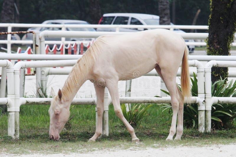whitehorse zdjęcia stock