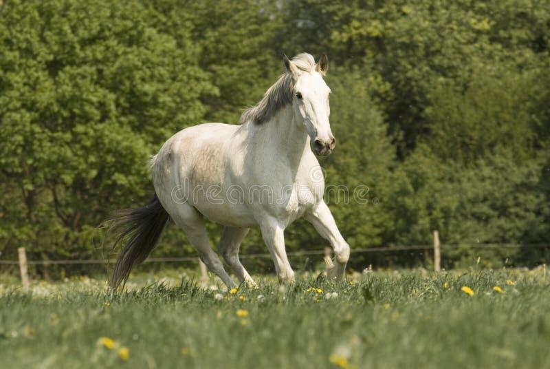 Whitehorse no prado foto de stock royalty free