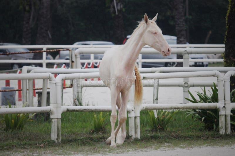 Whitehorse1 fotografia royalty free