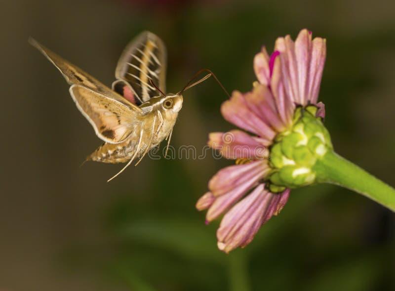 Whitelined sfinx arkivfoton