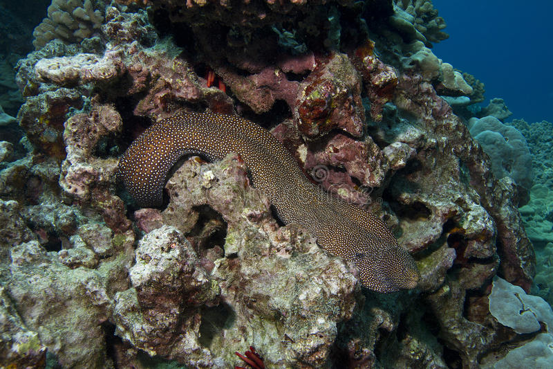 whitemouth moray eel стоковая фотография