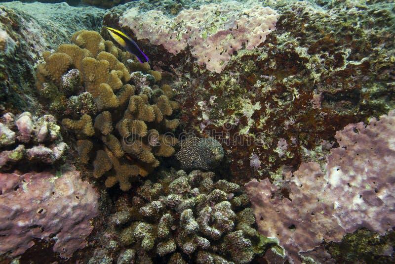 whitemouth moray eel стоковое фото