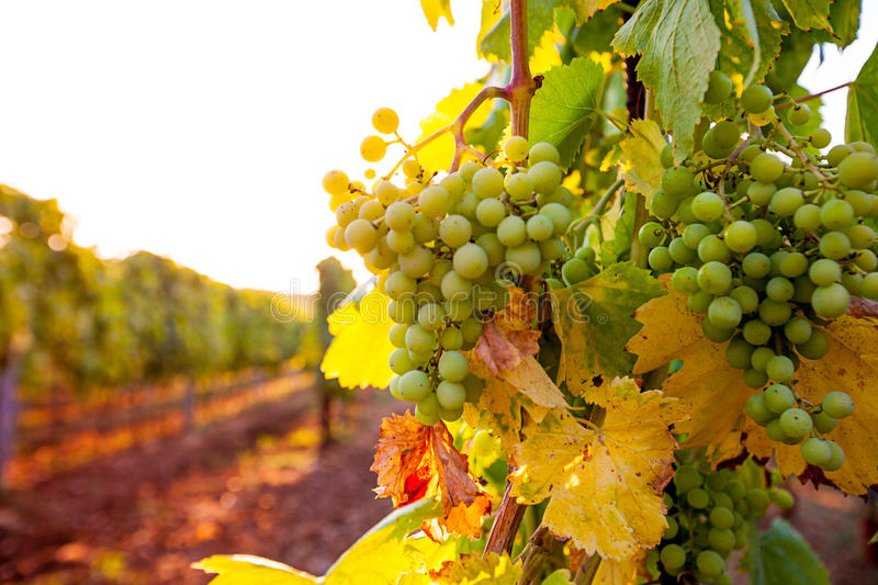 Whites grapes (Pinot Blanc) in the vineyard during sunrise. royalty free stock images