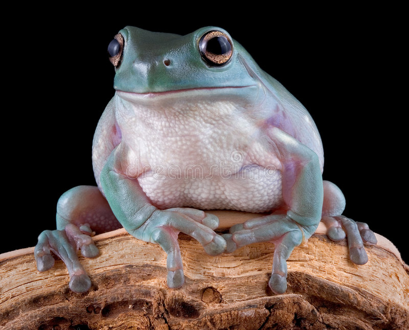 Whites tree frog on branch