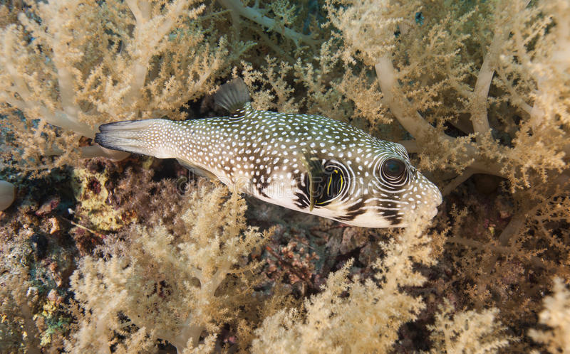 Download Whitespotted Pufferfish On A Coral Reef Royalty Free Stock Photos - Image: 32230508