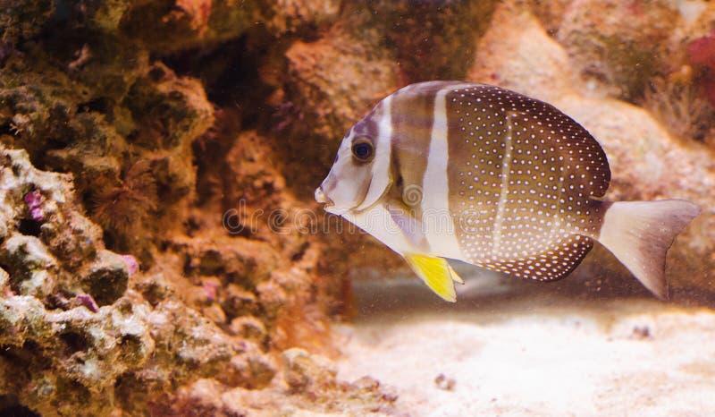 Whitespotted surgeonfish stock foto