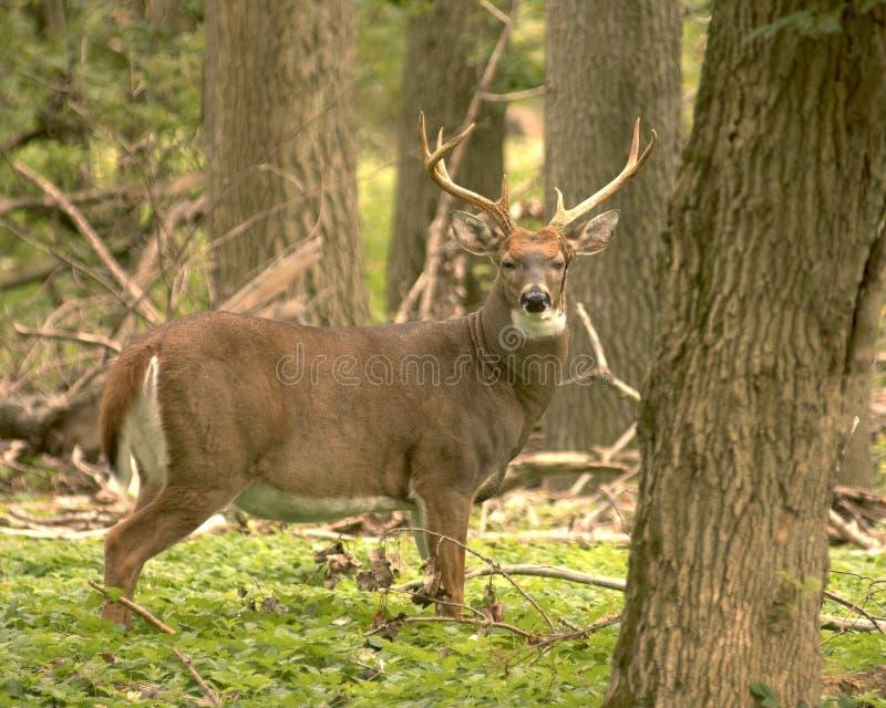 Download Whitetail оленей стоковое изображение. изображение насчитывающей outdoors - 1190979