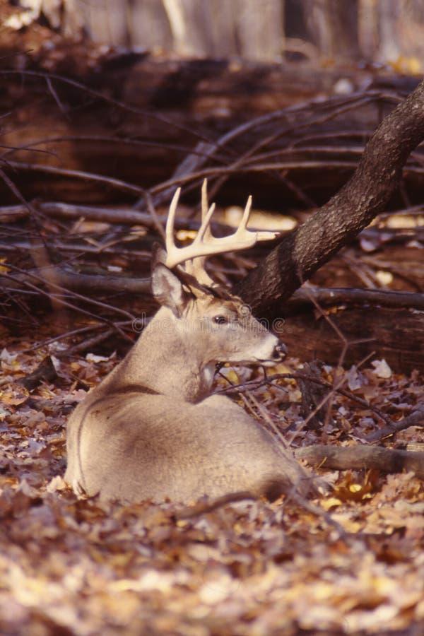 whitetail портрета самеца оленя стоковые изображения