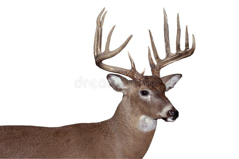 Whitetail buck stock image