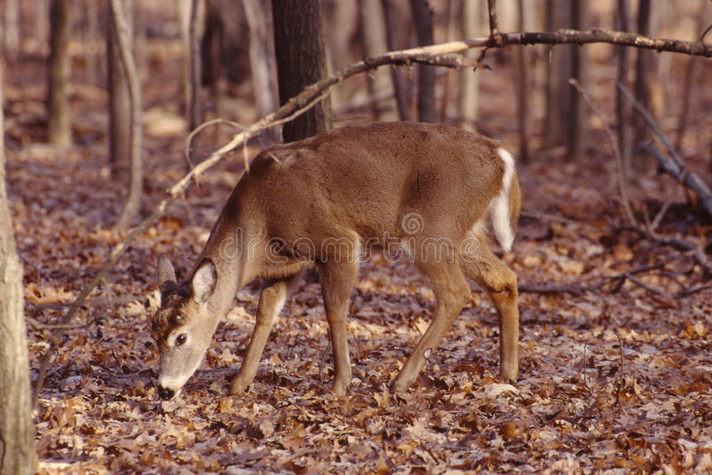 Download Whitetail Buck,antlers Shed Stock Image - Image: 11510537