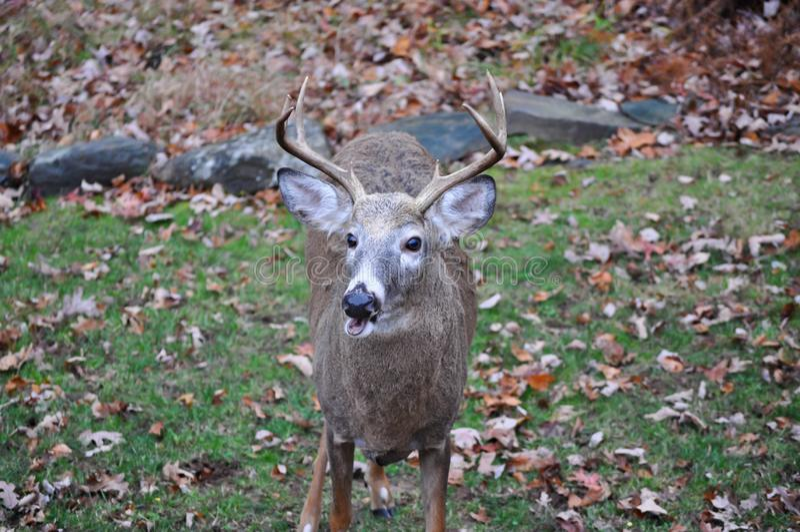 Whitetail Buck Deer com uma expressão e uma boca engraçadas abertas imagem de stock royalty free