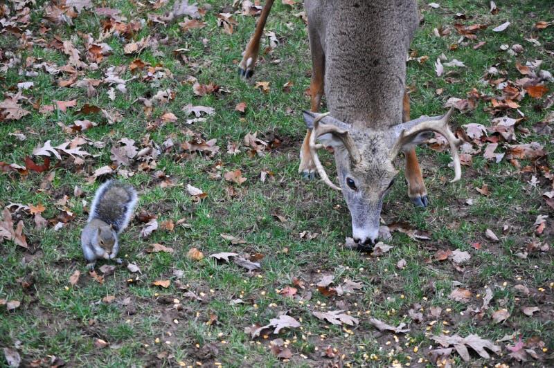 Whitetail Buck Deer Eating Alongside una ardilla imagenes de archivo