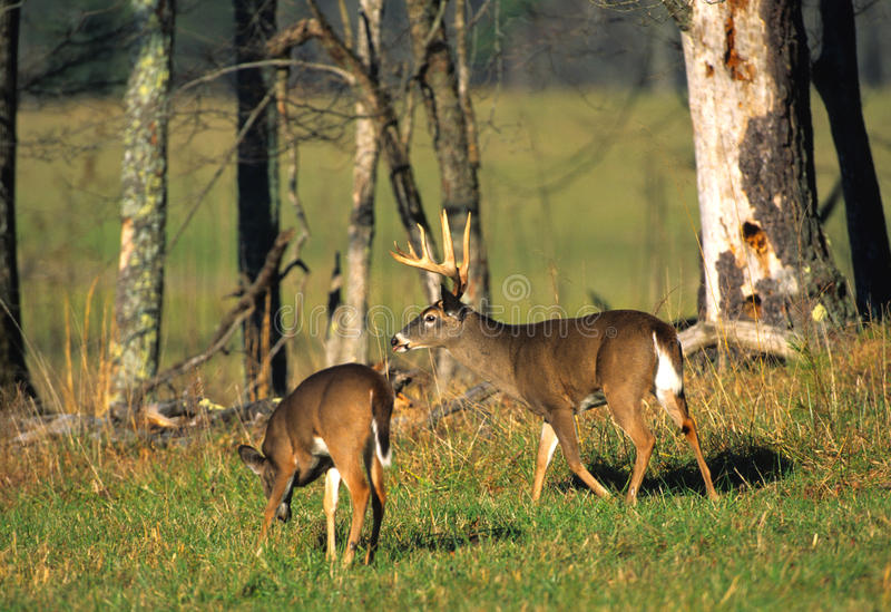 Whitetail Buck and Doe in Meadow