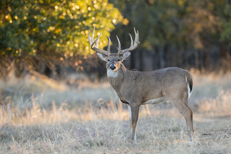 Whitetail buck with fall colors in background stock photography
