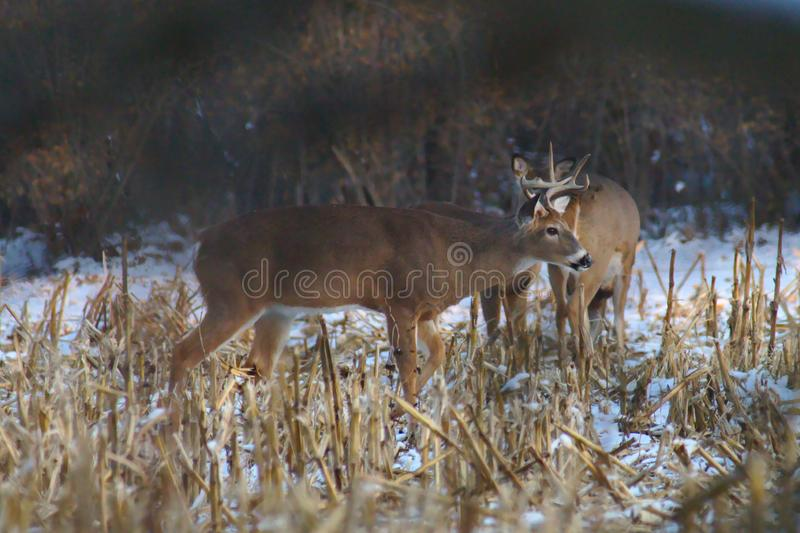 Whitetail buck feeding in cornfield royalty free stock images