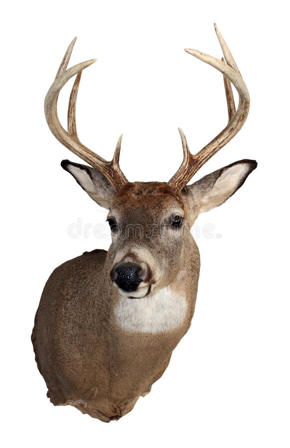 Whitetail Buck Isolated on White royalty free stock images