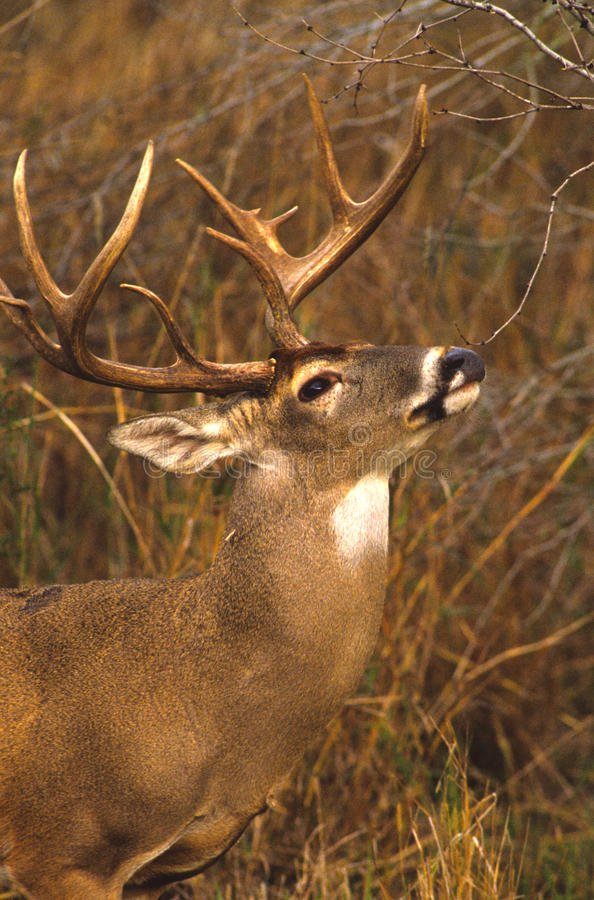 Whitetail Buck Licking A Branch Royalty Free Stock Photos