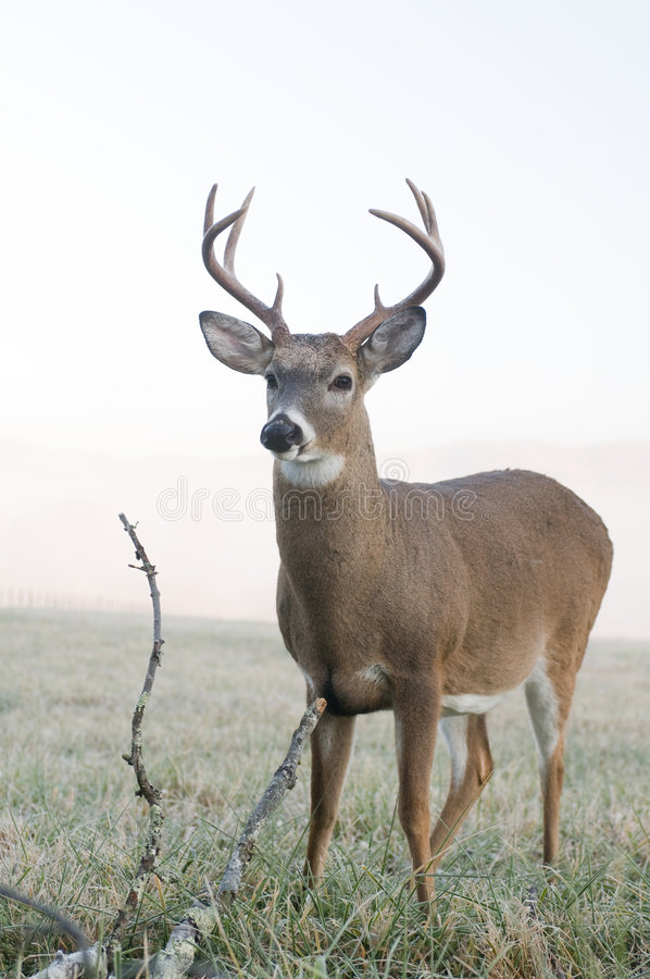 Whitetail buck in a meadow stock photography