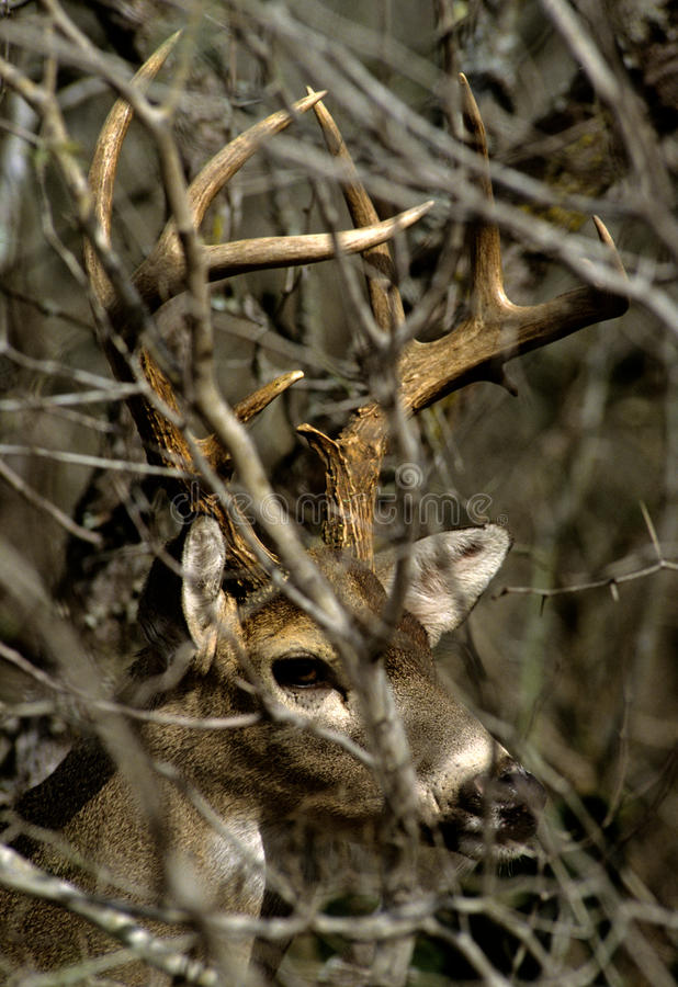 Whitetail Buck Portrait in Brush stock images