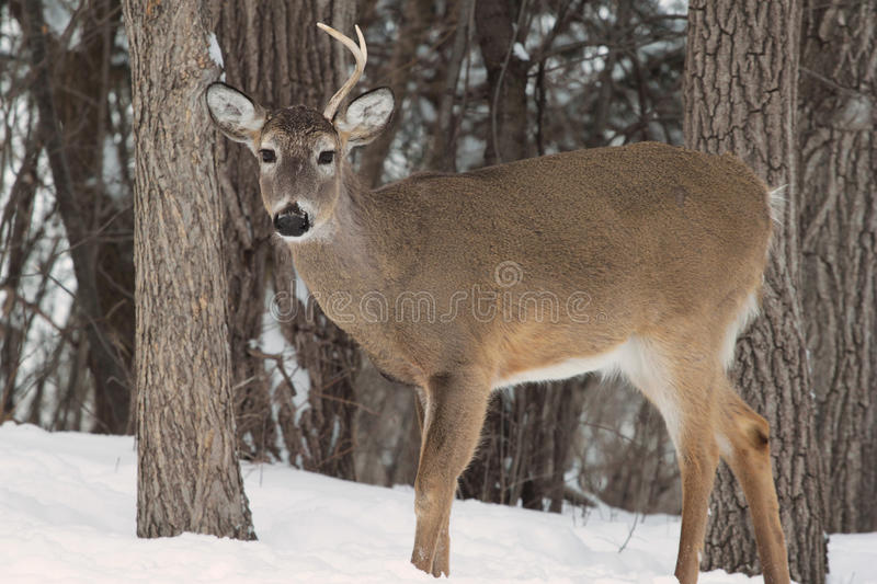 Whitetail Buck in shed stock images