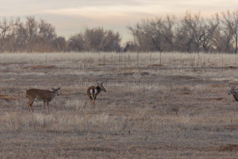 Whitetail Bucks no Fall Rut, Colorado imagens de stock