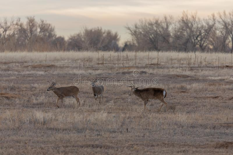 Whitetail Bucks no Fall Rut fotos de stock