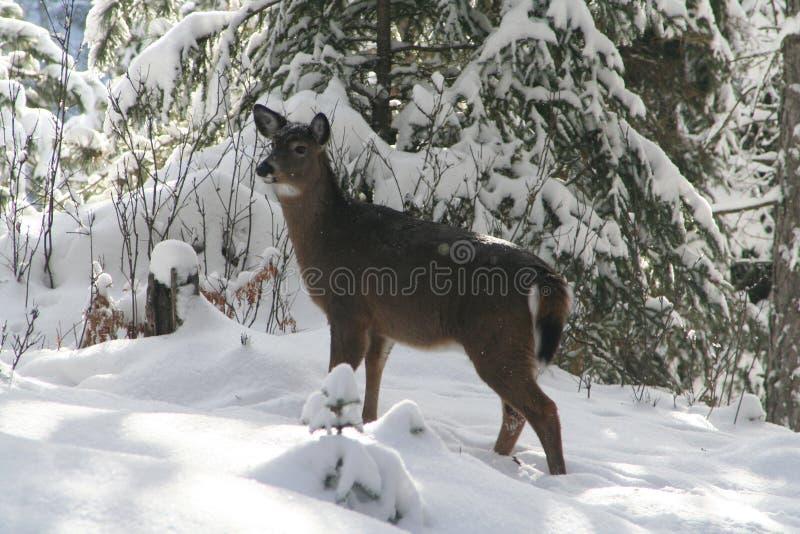 Whitetail Deer royalty free stock photos